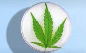 cremas y cosmeticos de cannabidiol marihuana medicinal para tratar la piel acne hidratar marihuana medicinal hemp